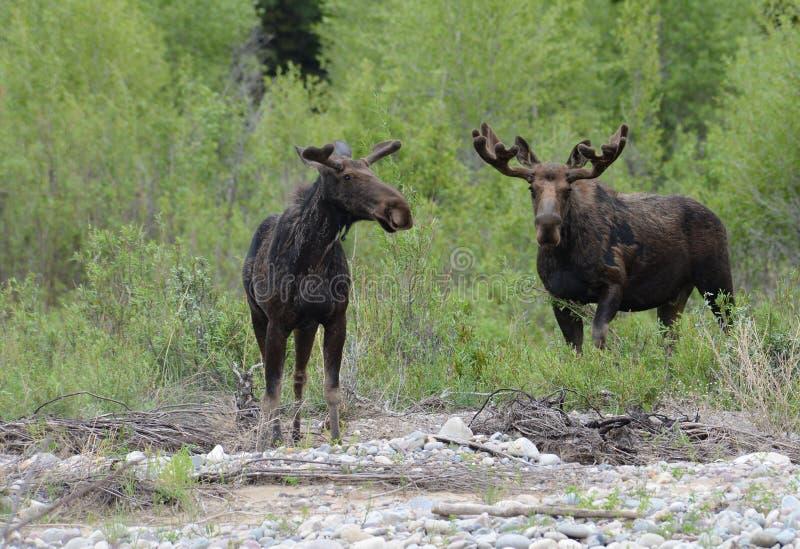 Zwei erwachsene Elche lassen durch den Fluss weiden. lizenzfreie stockbilder