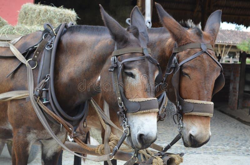 Zwei Esel stockfotografie