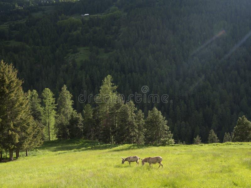 Zwei Esel in der Bergwiese nahe Col. de Vars auf Französisch Haute Provence stockfotografie