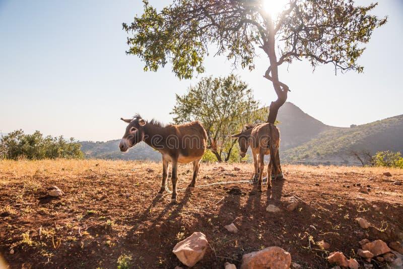 Zwei Esel, die in der trockenen Nachtischsonne unter einem Baum stehen stockbild