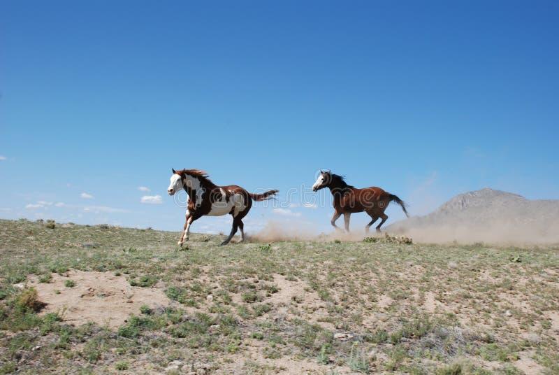 Zwei Farben-Pferde, die auf Ridge Kicking Up Dust laufen lizenzfreie stockfotografie