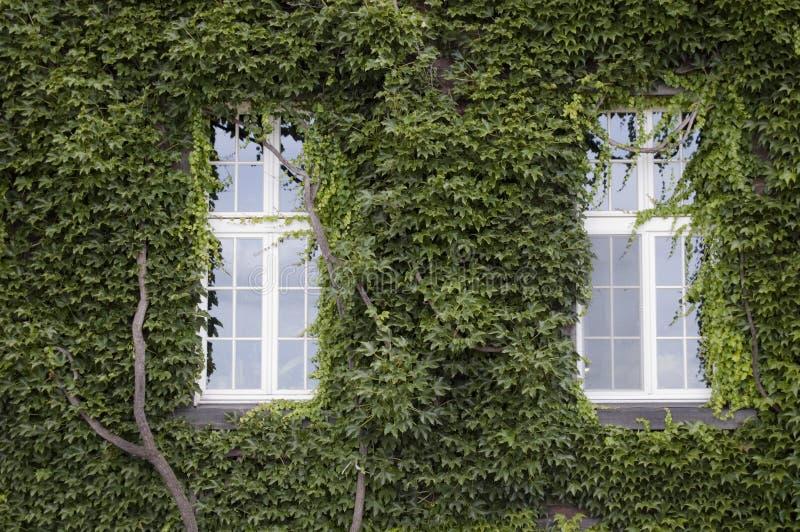 Zwei Fenster und alte Wand, die im Efeu abgedeckt werden, verlässt lizenzfreie stockfotos