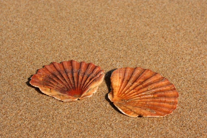 Zwei flache Seeshells auf dem Sand stockfoto