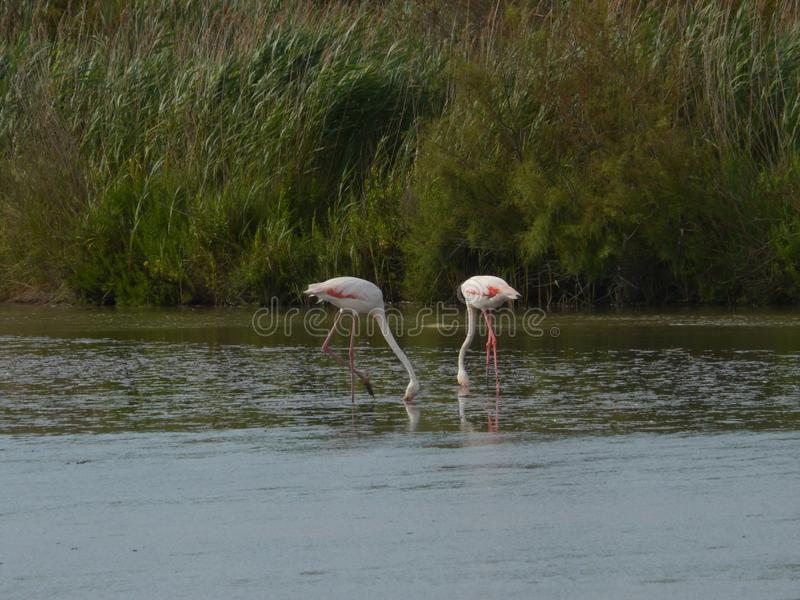 Zwei Flamingos im Camargue stockfotografie