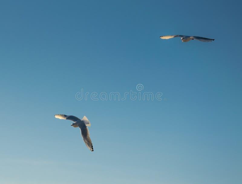 Zwei fliegende Seemöwen auf einem Hintergrund des blauen Himmels stockfoto