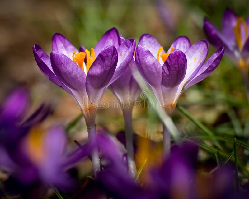 Zwei Frühlings-Krokusse stockbilder