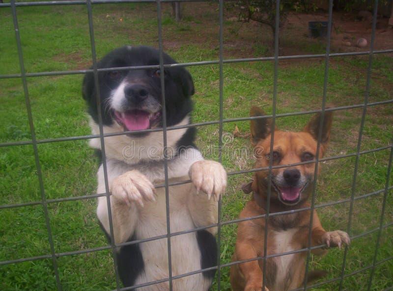 Zwei freundliche Hunde, die am Zaun stehen lizenzfreies stockbild