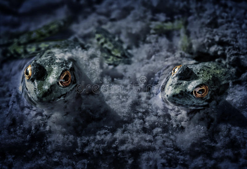 Zwei Frosch-Makrodunkelheit lizenzfreie stockfotografie