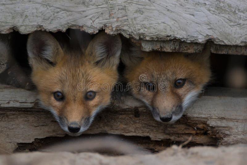 Zwei Fuchsjunge, die heraus spähen stockfoto