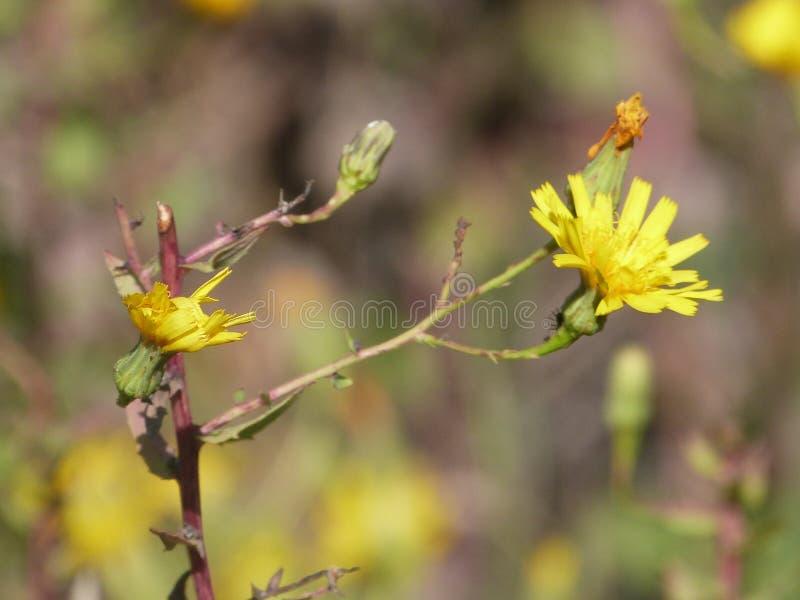 Zwei gelbe Blumen auf einer Niederlassung lizenzfreie stockfotografie