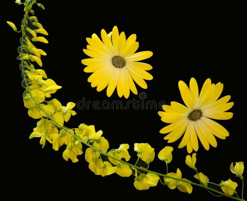 Zwei gelbe Blumen mit Goldregenzweig lizenzfreie stockfotos