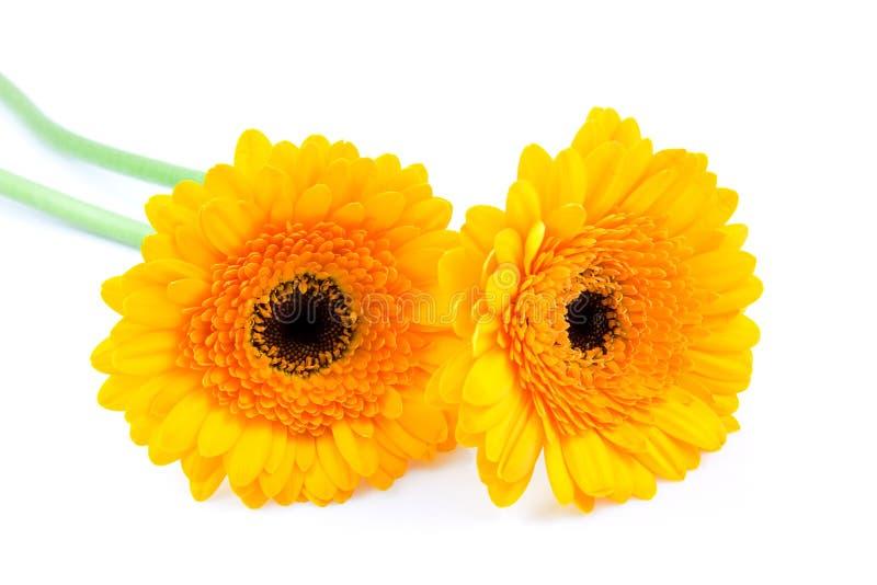 Zwei gelbe Gerber Blumen stockfoto