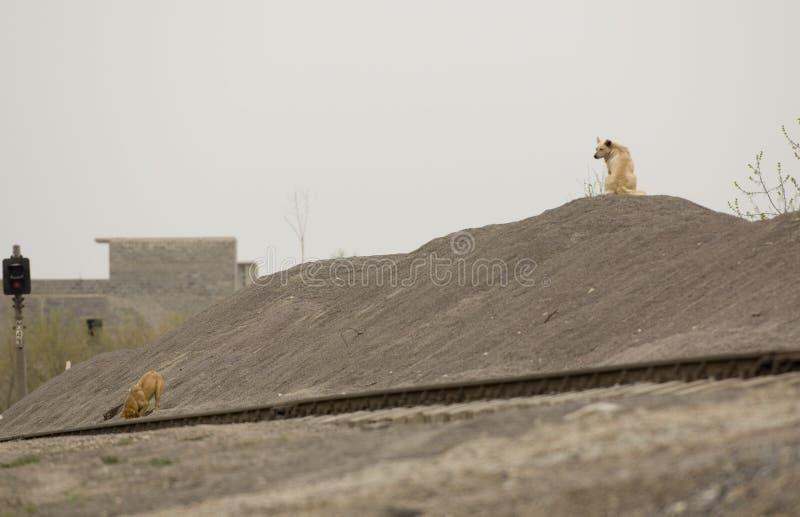 Zwei gelbe Hunde stockbilder