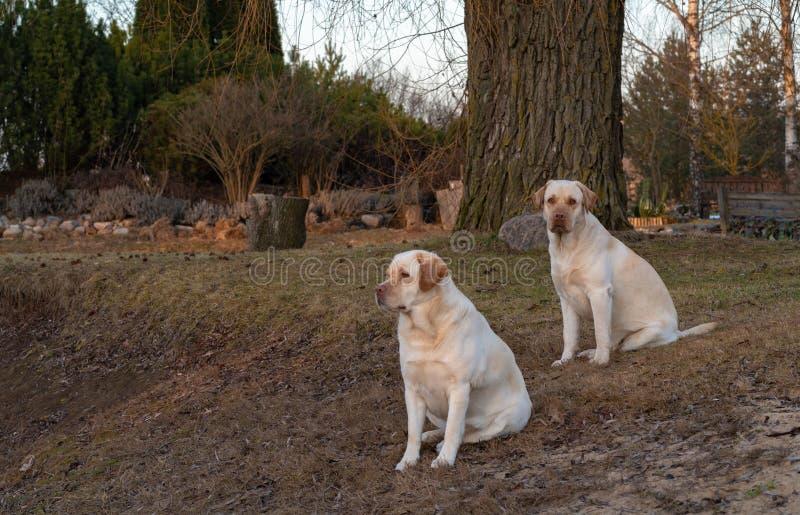 zwei gelbes labrador retriever-Hundesitzen stockfotografie
