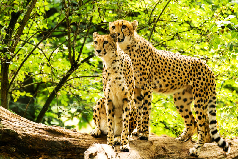 Zwei Geparde Acinonyx jubatus lizenzfreie stockbilder