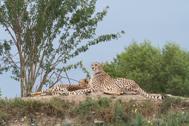Zwei Geparde auf dem Hügel in der Savanne lizenzfreie stockfotos