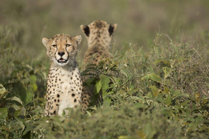 Zwei Gepardjunge (Acinonyx jubatus) in Tanzania stockbilder