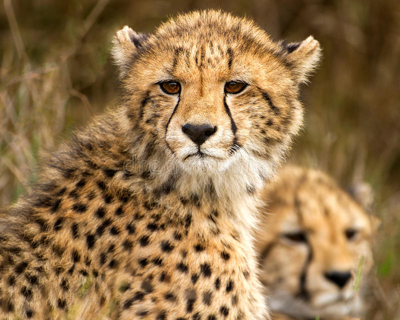 Zwei Gepardjunge in Phinda lizenzfreie stockfotografie