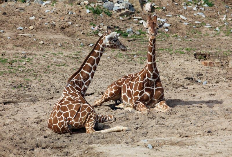 Zwei Giraffen stockfotografie