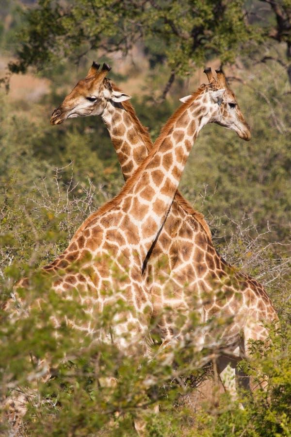 Download Zwei Giraffen stockbild. Bild von leuchte, nave, afrika - 26374827