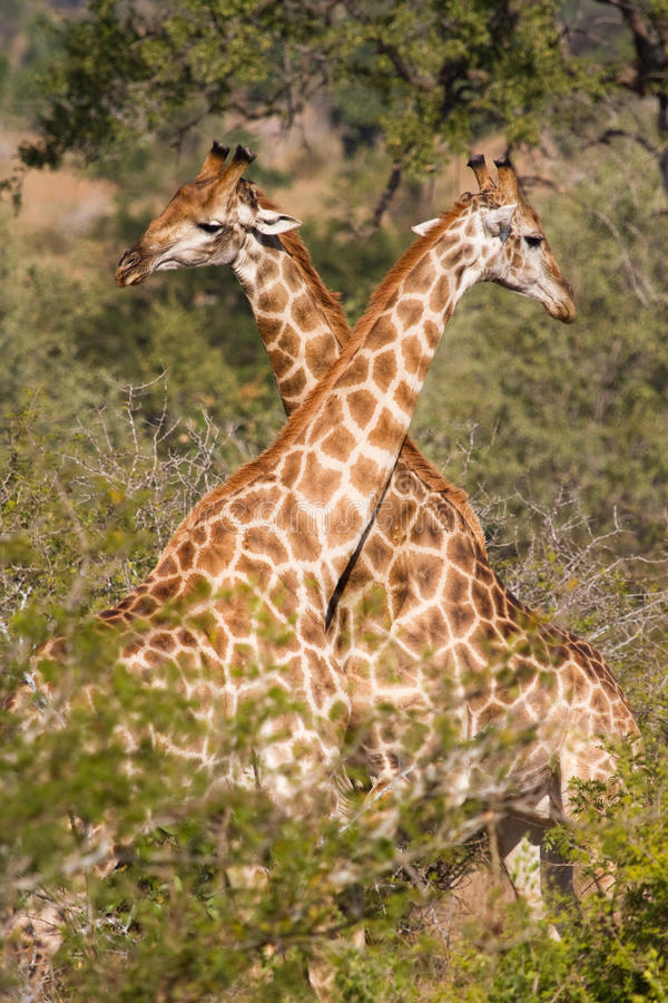 Zwei Giraffen lizenzfreie stockfotografie