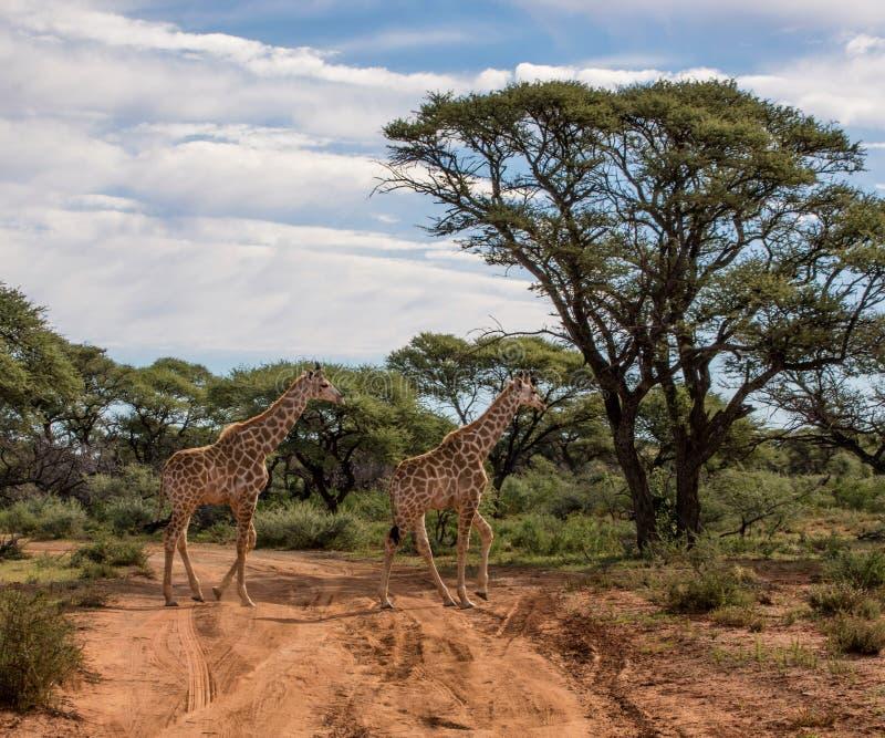 Zwei Giraffen, die Straße kreuzen lizenzfreies stockbild