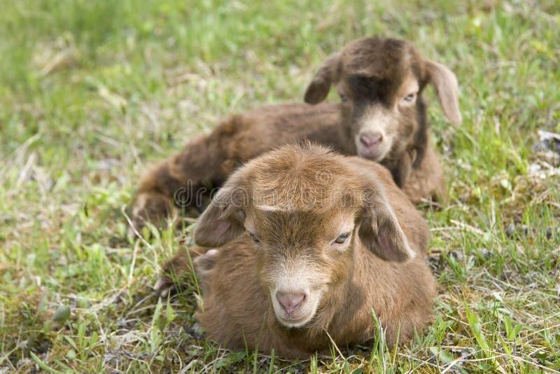 Zwei goatlings Sitzen lizenzfreie stockfotografie