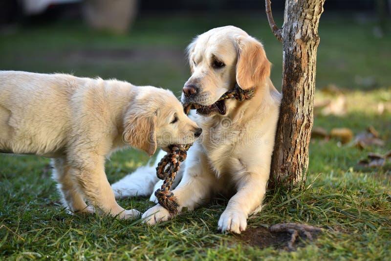 Zwei golden retriever-Hunde, die auf Gras spielen stockbild