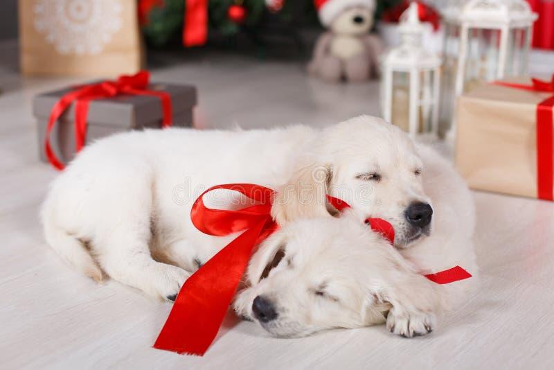 Zwei golden retriever-Welpen nähern sich Weihnachtsbaum mit Geschenken stockbilder