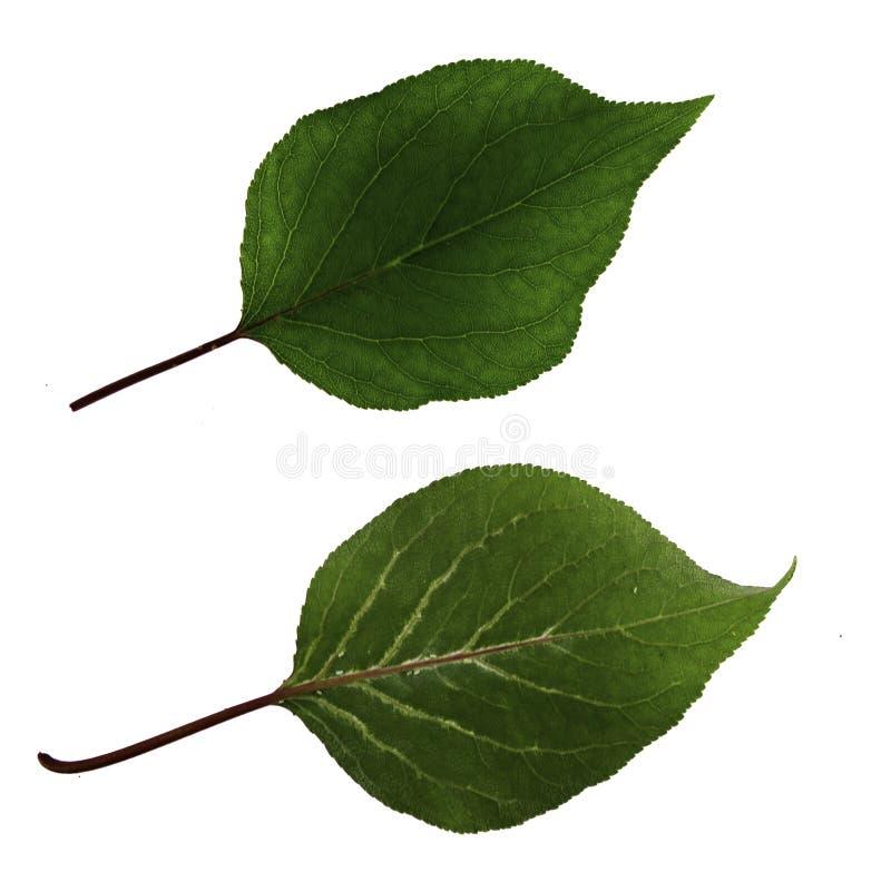 Zwei grüne Aprikosenblätter lokalisiert auf weißer Hintergrund-, Spitzen- und Unterseitenansicht lizenzfreie stockfotografie