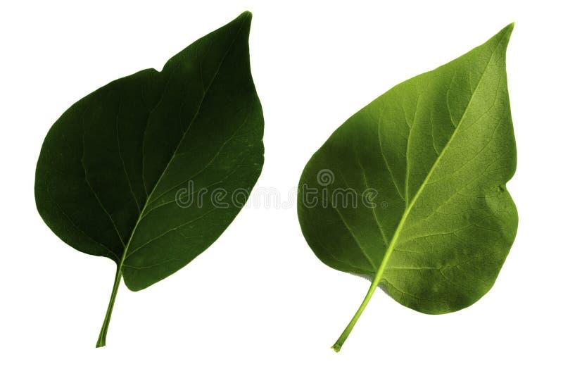 Zwei grüne Blätter Flieder lokalisiert auf weißem Hintergrund, Spitze und Unterseite des Blattes stockfotografie