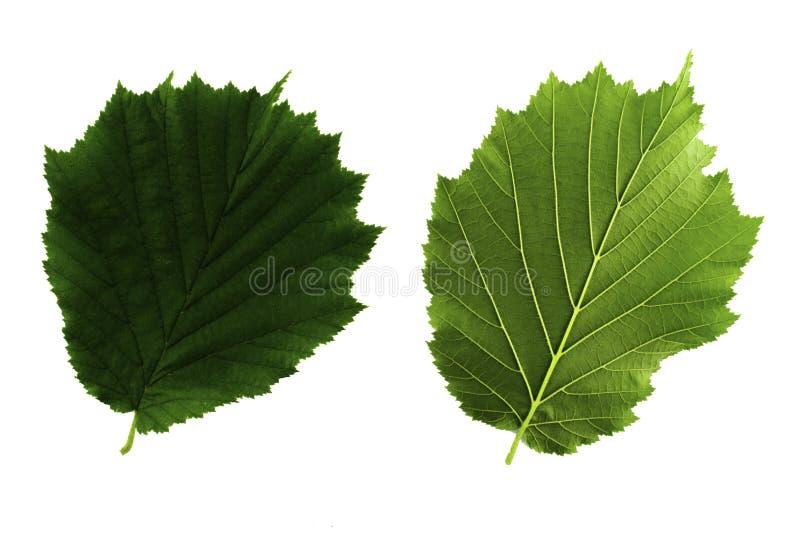 Zwei grüne Blätter Haselnuss lokalisiert auf weißem Hintergrund, Spitze und Unterseite des Blattes stockfotografie
