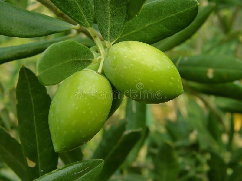 Zwei grüne Oliven (Makro) lizenzfreie stockbilder