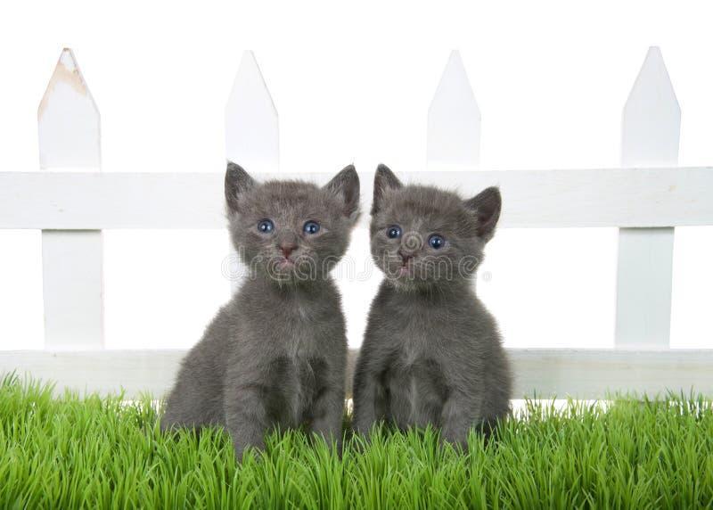 Zwei graue Kätzchen, die im grünen Gras vor dem weißen Palisadenzaun lokalisiert sitzen lizenzfreie stockfotos