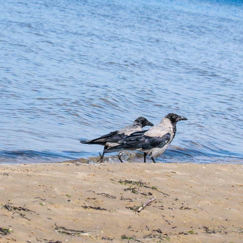 Zwei graue Krähen, die entlang das Ufer der Ostsee auf der Suche nach Nahrung gehen Corvus cornix Passerine lizenzfreies stockfoto