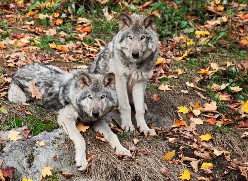 Zwei graue Wölfe, welche die Kamera betrachten lizenzfreies stockfoto
