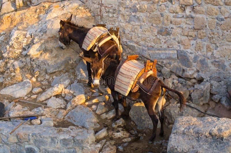Zwei griechische Esel stockfotografie