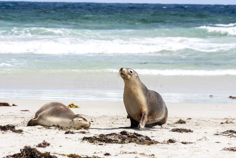 Zwei große australische Seelöwen Neophoca cinerea auf dem sandigen Strand K?nguru-Insel, S?d-Australien stockfotografie