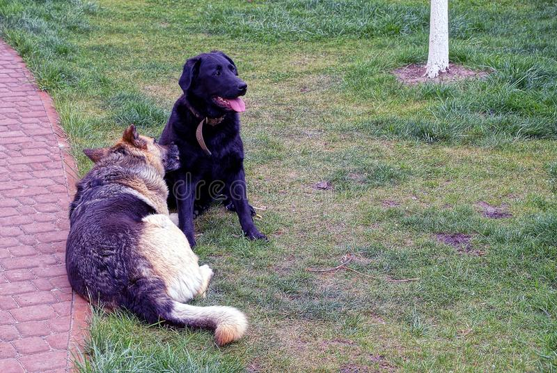 Zwei große Hunde liegen auf dem Rasen nahe dem Bürgersteig stockfotografie