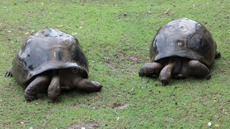 Zwei große Schildkröten stockfoto