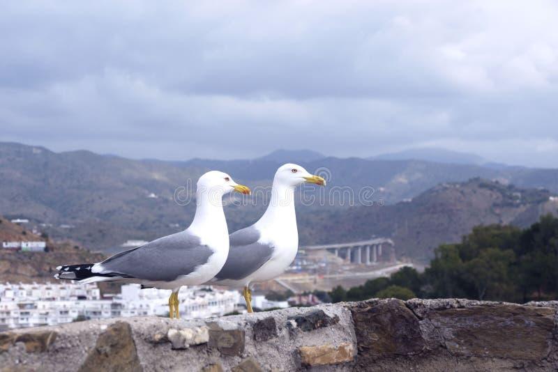 Zwei große Schwarzkopfmöwen Larus michahellis stehen auf der Steinwand der alten Festung gegen den Hintergrund des Berges stockfotos