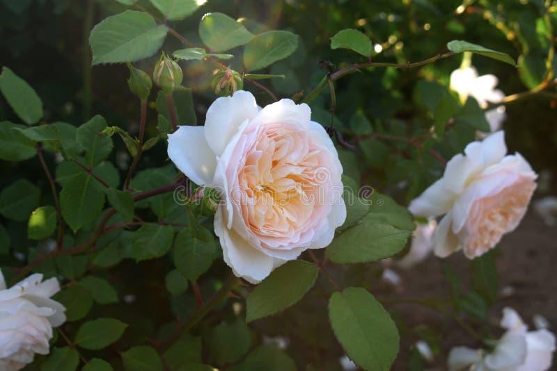 Zwei große weiße Rosen -02 stockbild