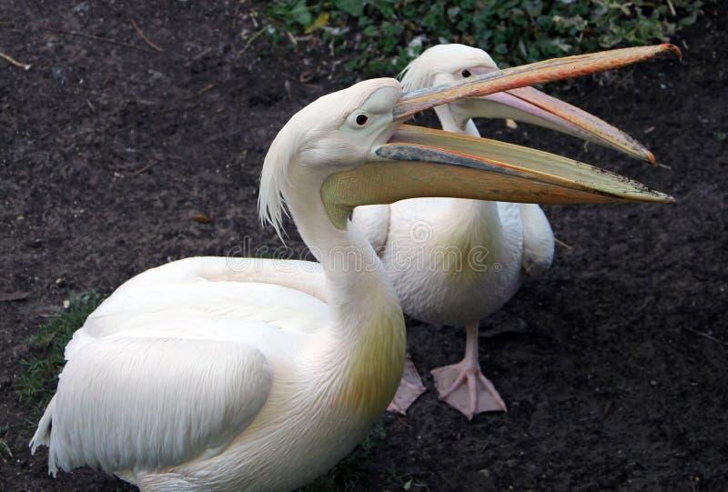 Zwei großes weißes oder rosiges Pelikane Pelecanus onocrotalus lizenzfreie stockbilder
