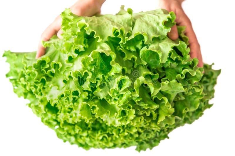 Zwei Hände, die Kopfsalat auf einem weißen Hintergrund halten lizenzfreies stockfoto