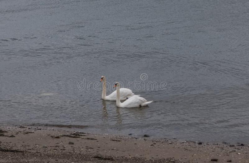 Zwei Höckerschwäne an der Seite von Irvine Harbour Scotland lizenzfreie stockbilder