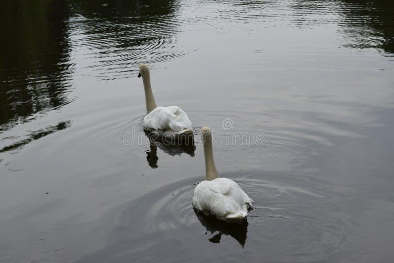 Zwei H?ckerschw?ne, die auf dem See schwimmen lizenzfreie stockfotografie