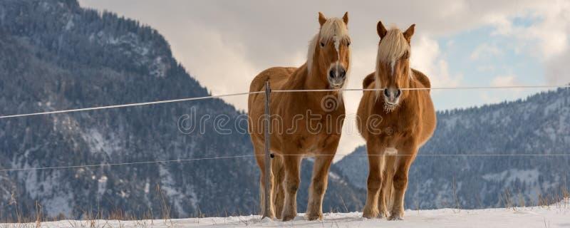 Zwei Haflinger-Pferde auf der Winterwiese und Bergspitzen auf Hintergrund lizenzfreie stockfotografie