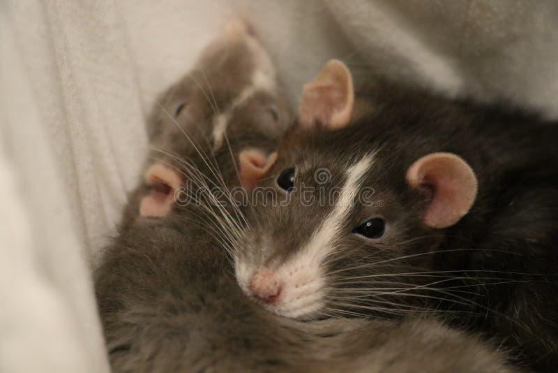 Zwei Haustier-Ratten, die zusammen schlafen lizenzfreies stockbild