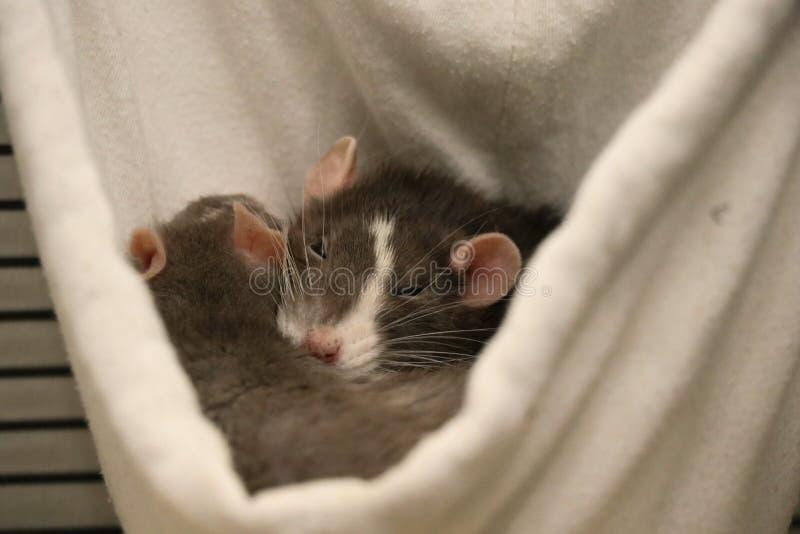 Zwei Haustier-Ratten, die zusammen schlafen stockfoto