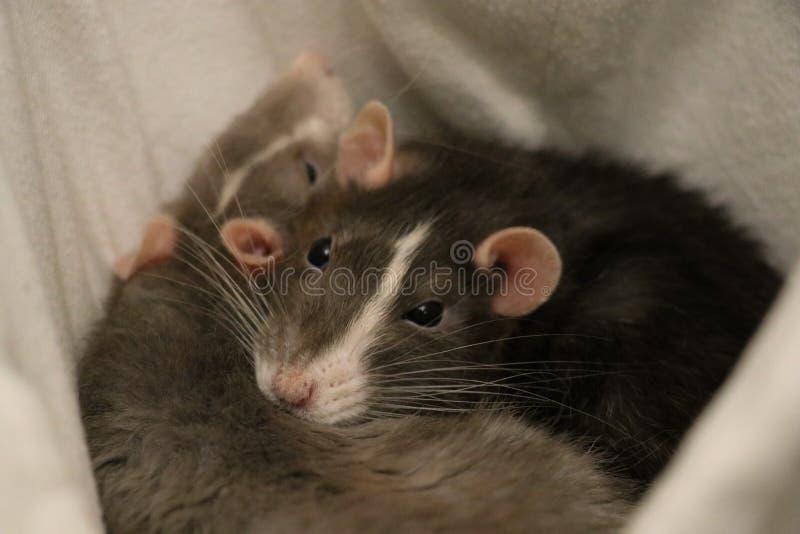 Zwei Haustier-Ratten, die zusammen schlafen stockbilder